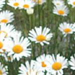 Différences Florales